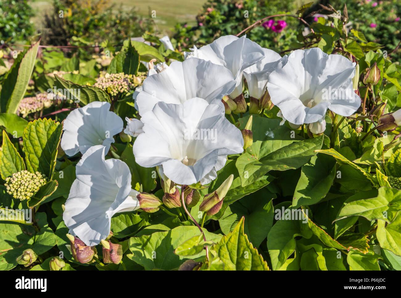 Weiß Trompete Blumen der Hedge Bindweed (Calystegia sepium, Rutland Schönheit, Bugle Weinstock, himmlischen Posaunen, bellbind) im Sommer in West Sussex, UK. Stockbild