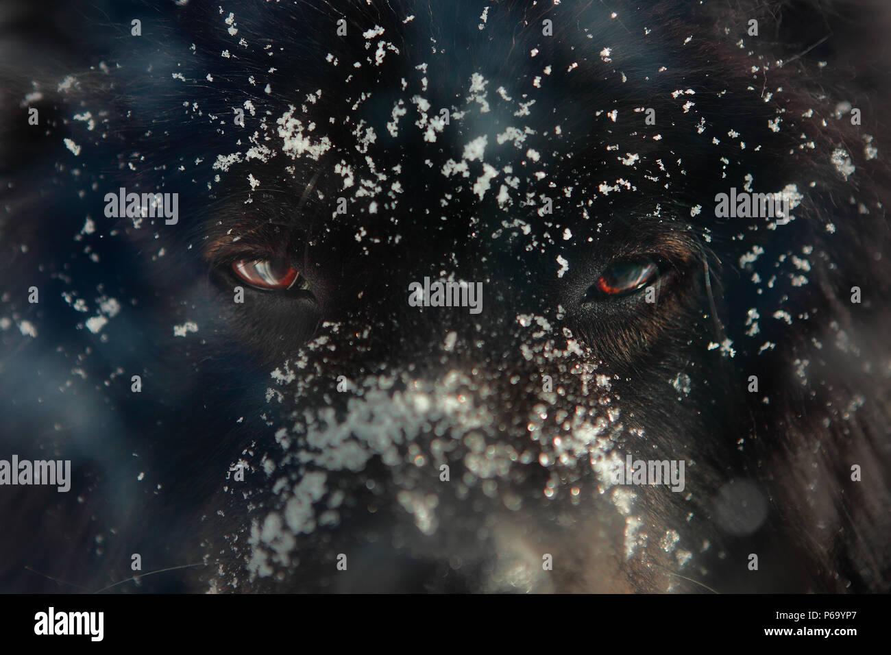 Schwarzer Hund Oder Wolf Augen Und Gesicht Im Winter Seine Augen