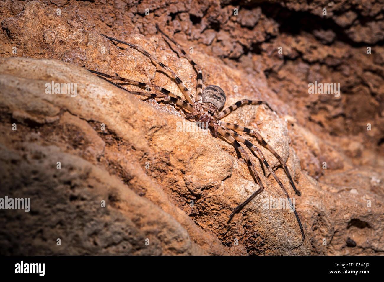 Größte Huntsman Spinne