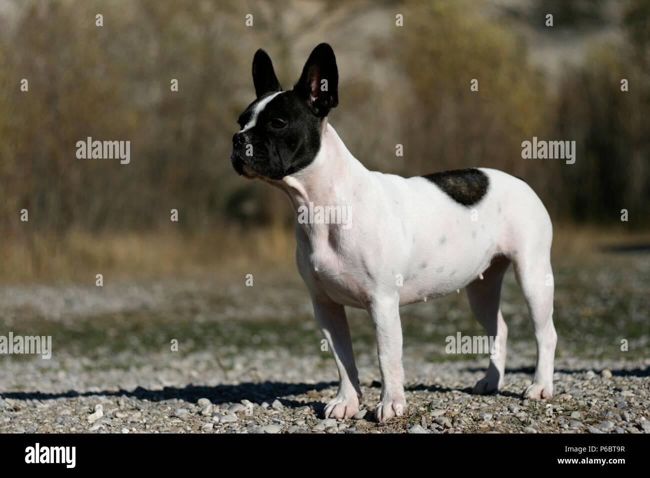 Franzosische Bulldogge Und Boston Terrier Mix Stehen Auf Einer