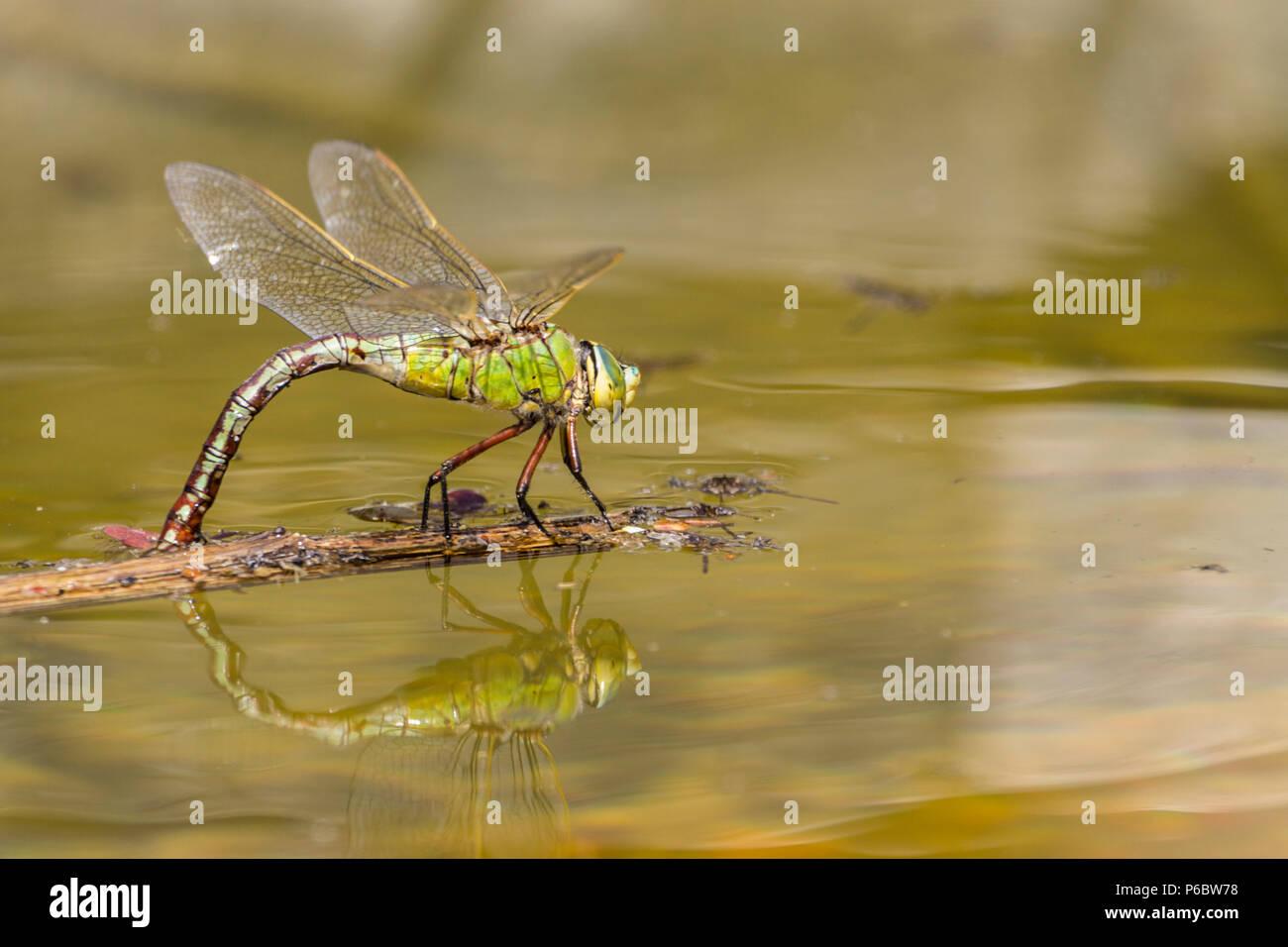 Frau Kaiser dragonfly Eier auf schwimmenden Schmutz in kleinen Mann machte eine große Libelle mit grün blau Bauch in weiblich mit dunklen dorsalen Linie Teich Stockbild