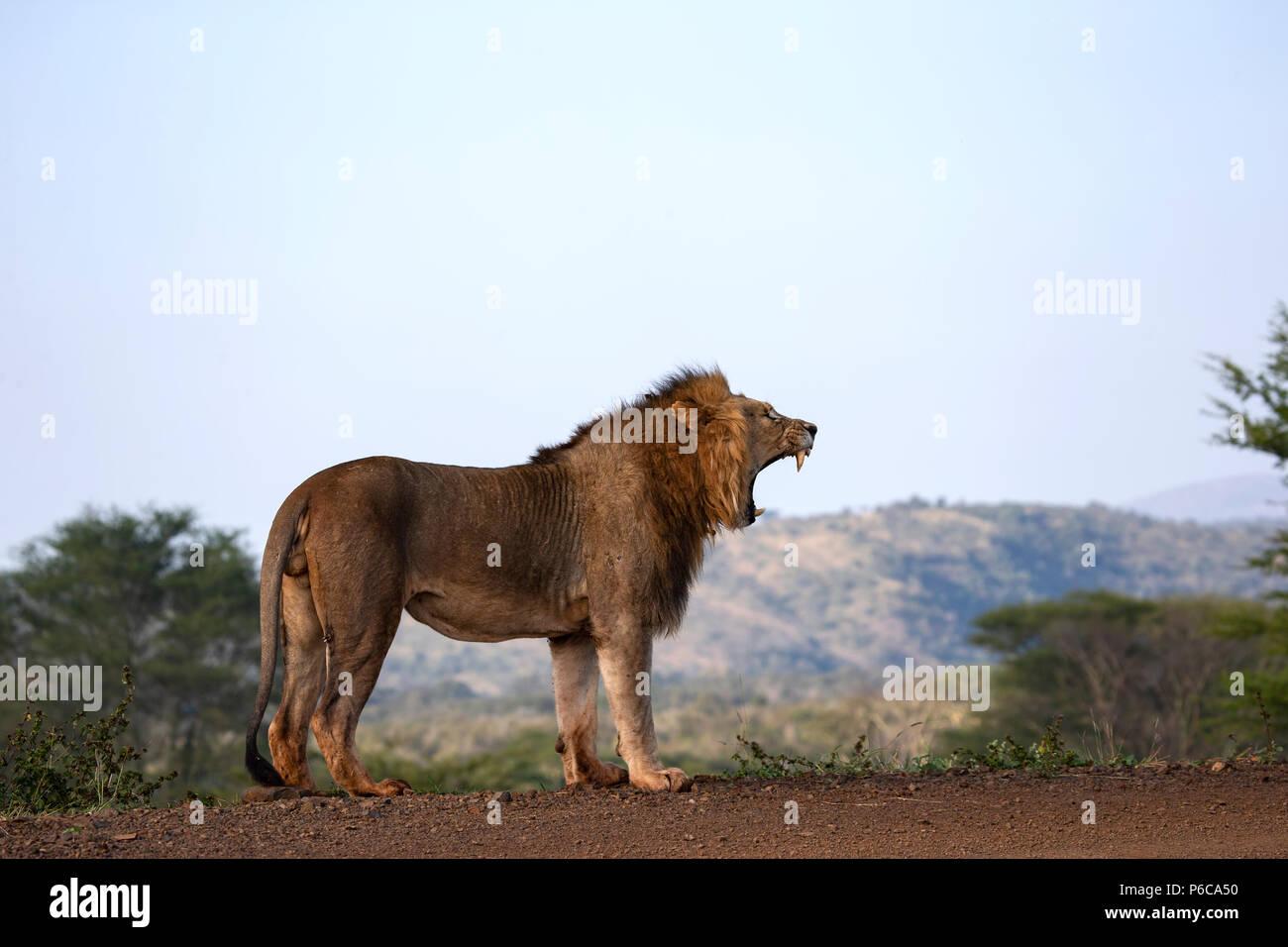 Männliche Löwe Panthera leo Rauschen im frühen Licht von der Spitze einer Staumauer Stockfoto