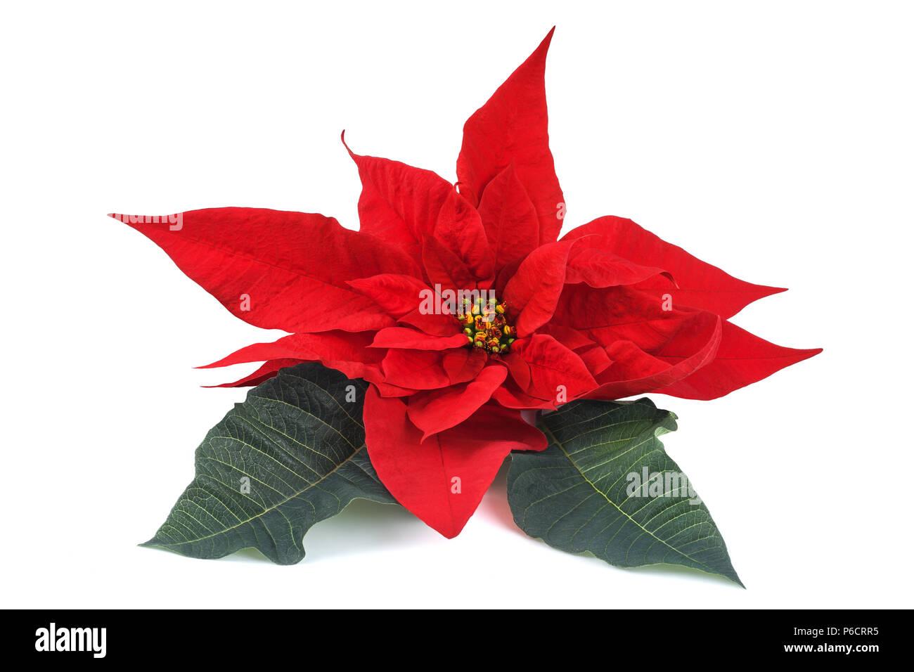 Weihnachtsstern Blume mit verlässt isolierten auf weißen Hintergrund ...