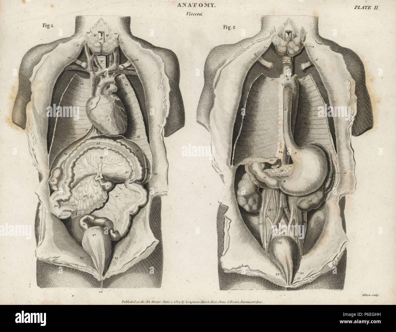 Anatomie der menschlichen inneren Organen von vorne zeigen, Herz ...