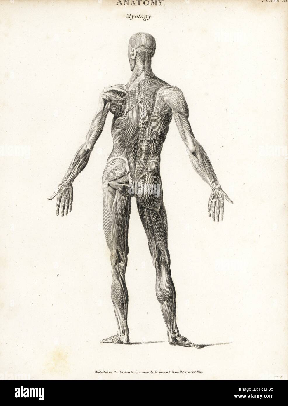 Anatomie der menschlichen Muskulatur von der Rückseite mit äußeren ...