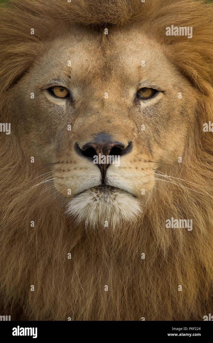 Wild männliche Löwe, der in der Savanne Stockbild