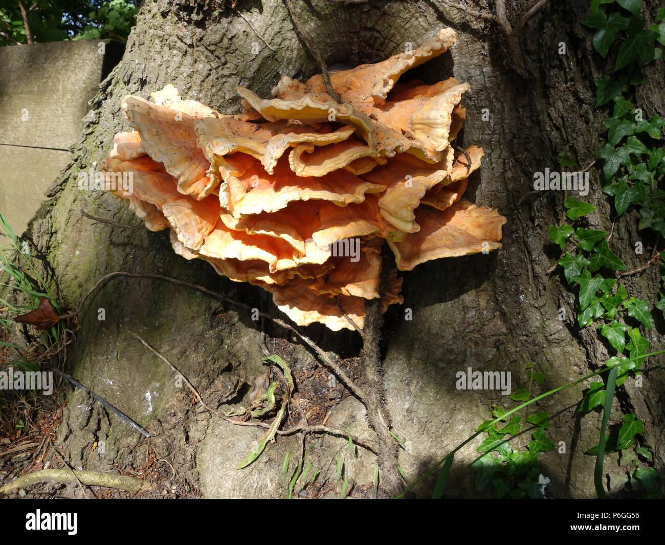 Baum Pilz ist eine allgemeine Unpäßlichkeit für Bäume. Möglicherweise Huhn der Wälder (Laetiporus sulfureus) Stockbild