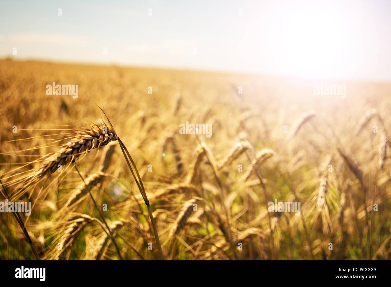 Weizenfeld. Ohren der goldene Weizen hautnah. Schöne Natur Sonnenuntergang Landschaft. Landschaft unter der strahlenden Sonne. Hintergrund der reifenden Ähren wiese Weizenfeld. Reiche Ernte Konzept. Soft Focus. Stockfoto