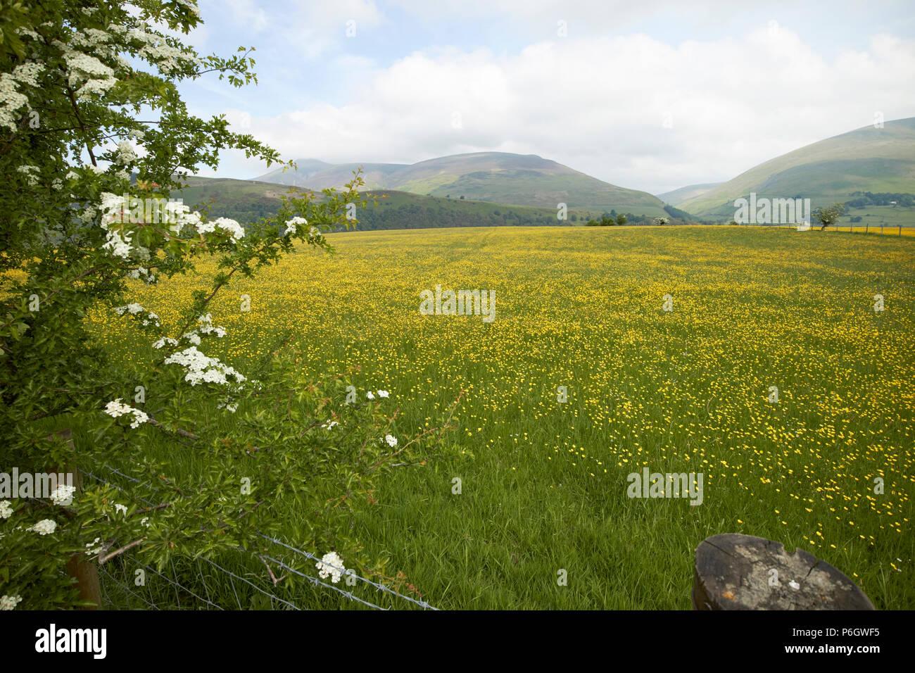 Bereich der ranunkeln in Ackerland unter Fruchtfolge underskiddaw Keswick cumbria England uk wachsende Stockbild