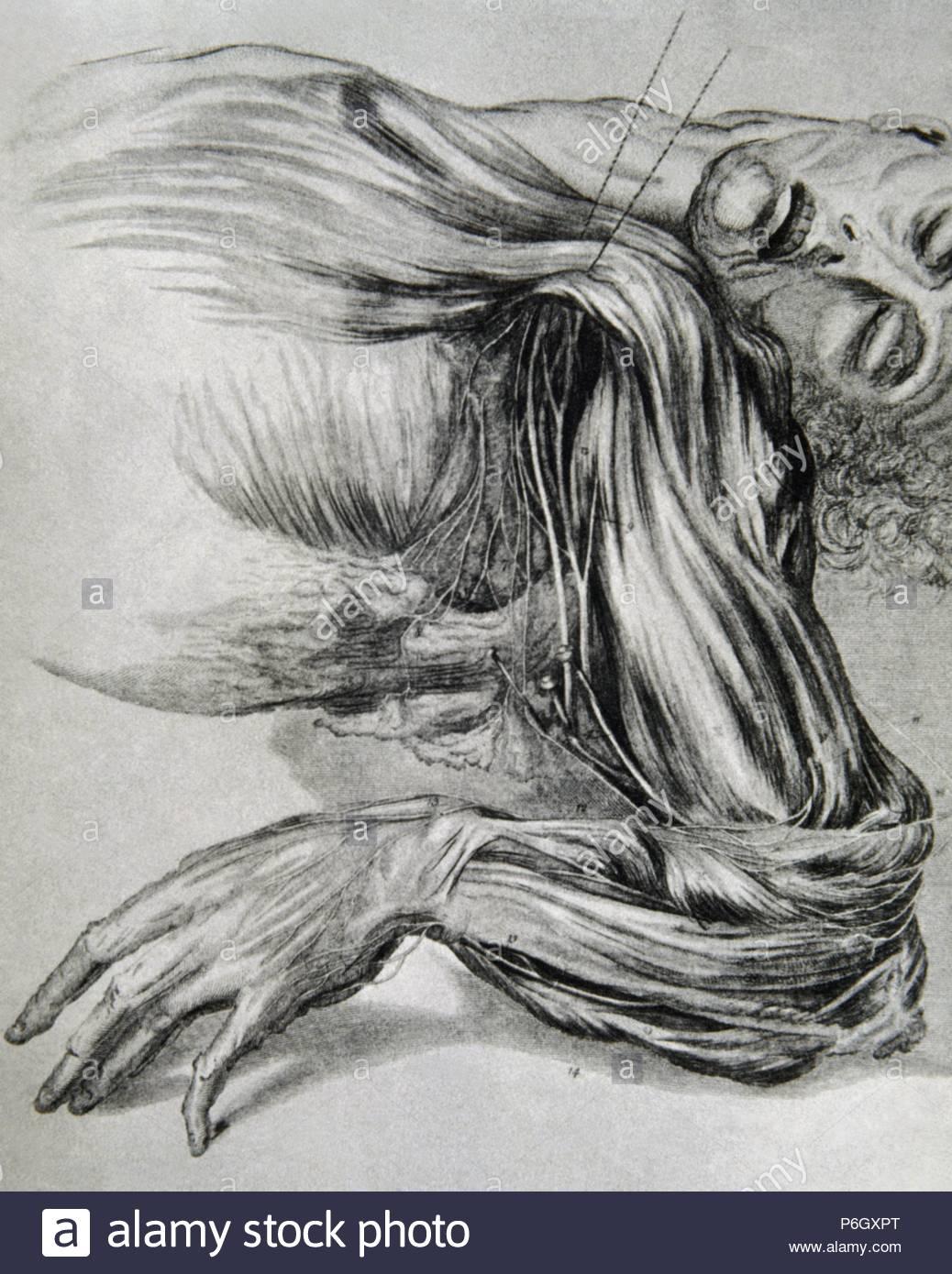 Geschichte der Medizin. Zeichnung aus einem Studium der Anatomie ...