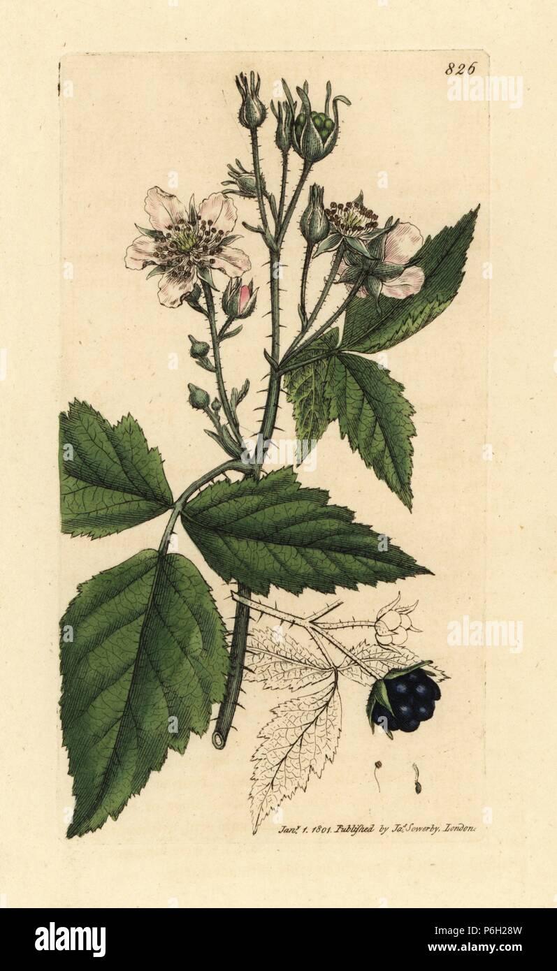 Atemberaubend Brombeere, Rubus caesius. Papierkörbe Kupferstich nach einer #QZ_41