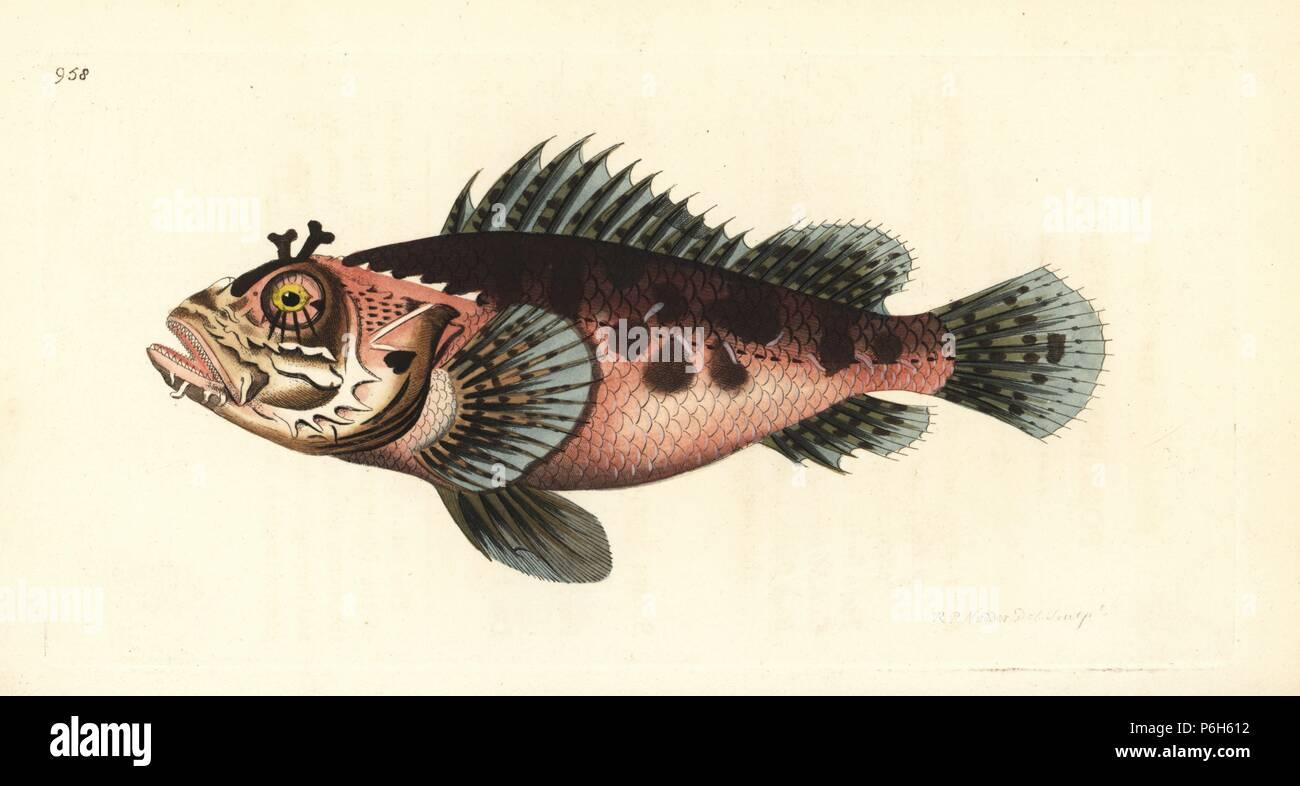 Schwarzer Skorpion Fisch Scorpaena Scorpaena Porcus Schwein