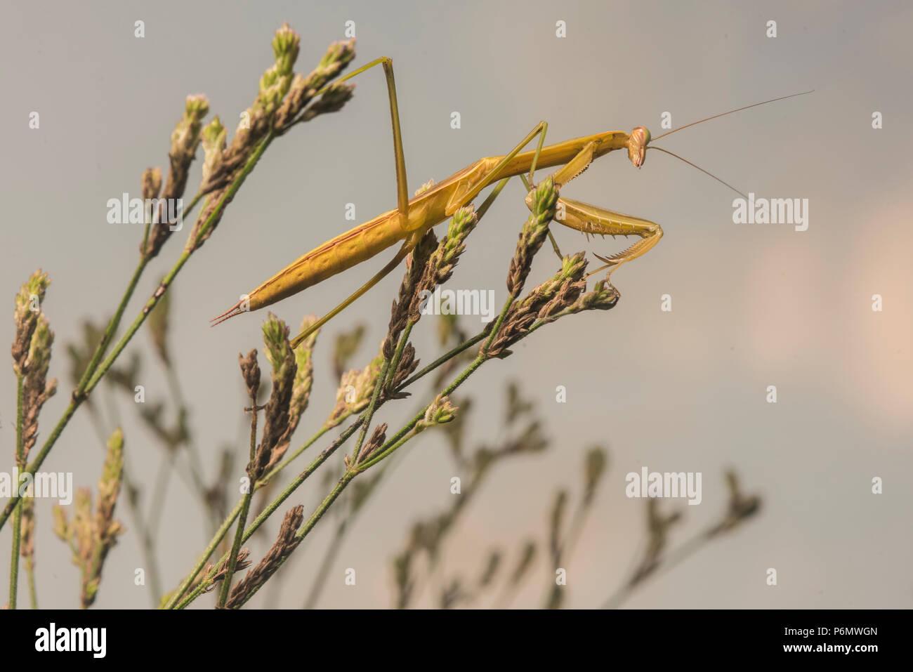 Die chinesische Mantis (Tenodera sinensis) ist eine eingeführte Art in den USA ist es häufig als natürliche Form der Schädlingsbekämpfung. Stockbild