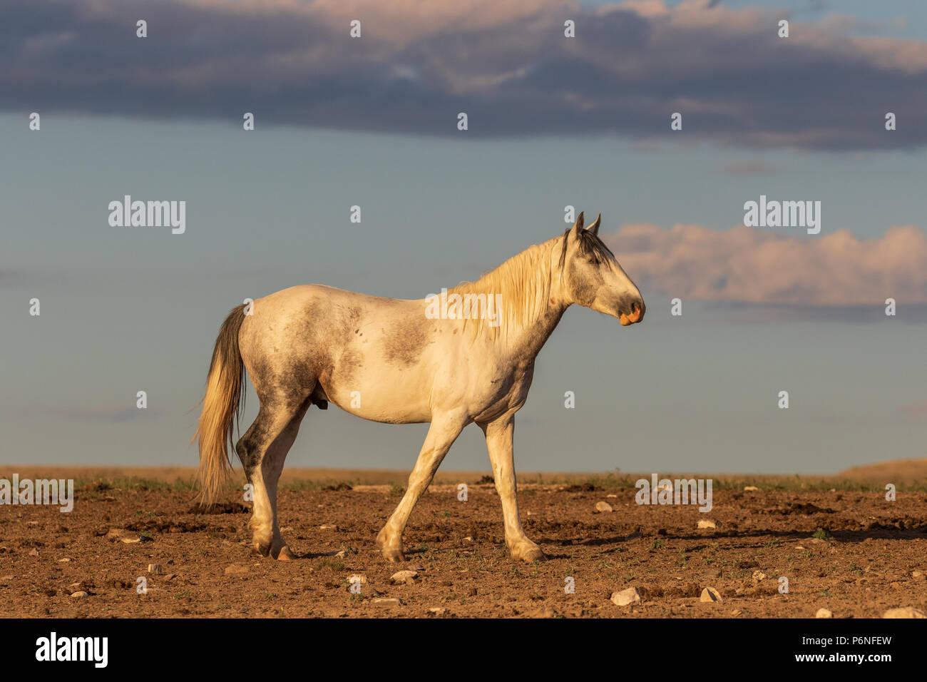 Wild Horse Hengst Stockbild