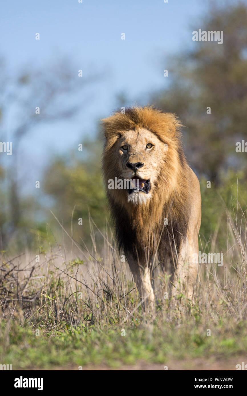 Niedrig - winkelkopf - Blick auf eine erwachsene männliche Löwe (Panthera leo) mit einem großen schwarzen Mähne zu Fuß Stockbild