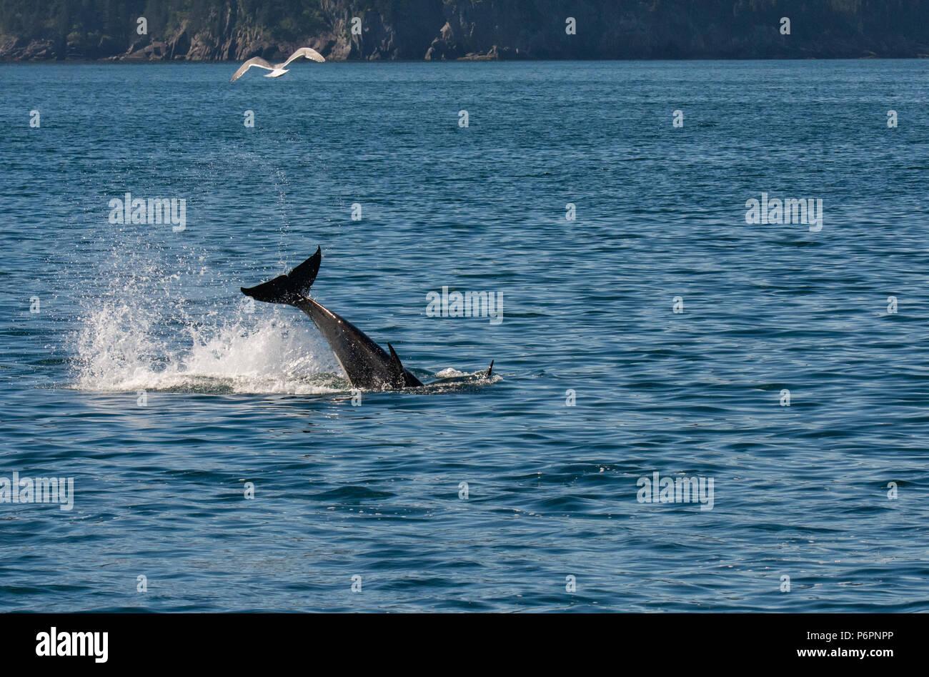 Eine kleine Orca heftig schwingt seine Schwanz senden Spray überall, wie es in einem Tauchgang auf der Oberfläche rutschen. Stockbild