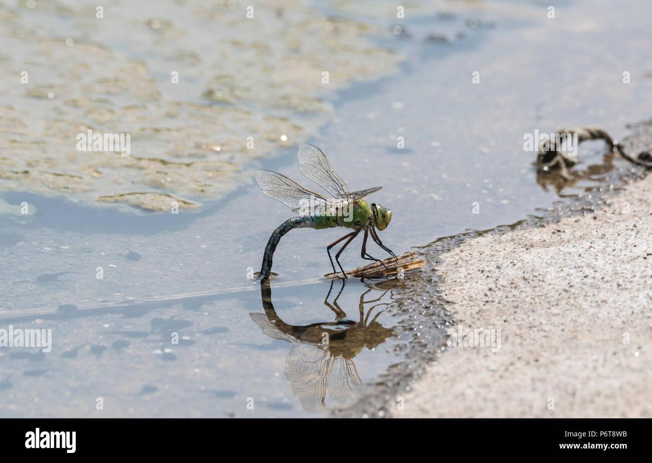 Kaiser Dragonfly (Anax imperator) ovi-setzung (eiablage) Stockbild