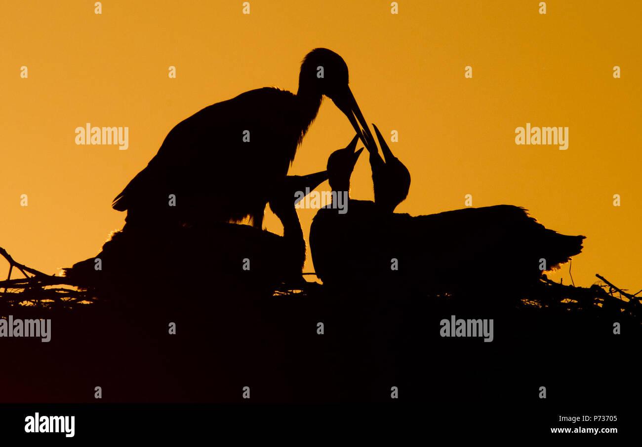 Laatzen, Deutschland. 06 Juni, 2018. 06.06.2018, Niedersachsen, Laatzen: ein ausgewachsener Weißstorch (Ciconia ciconia) Feeds Jungstörche bei Sonnenuntergang auf einem Nest in der Leinemasch südlich von Hannover. Im Storchennest, ein paar Störche zeichnet fünf Jungstörche auf einmal. Jede junge Storch muss über ein Kilo Nahrung pro Tag, die von den Eltern gejagt werden. Credit: Julian Stratenschulte/dpa | Verwendung weltweit/dpa/Alamy leben Nachrichten Stockbild