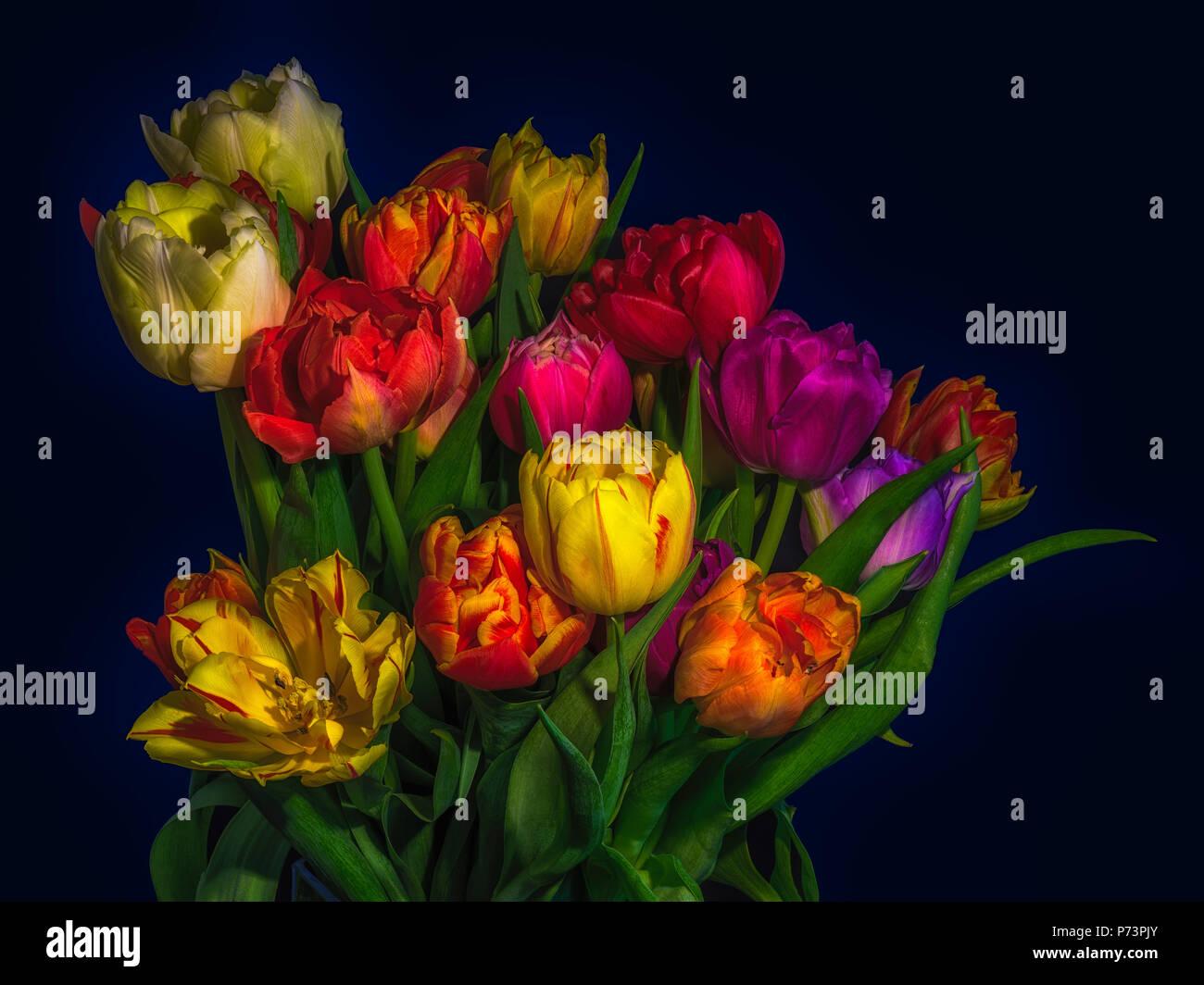 Kunst Blumen Stillleben Blume Makro Einer Blute Tulpe Blume Blumenstrauss Bundel Dunkelblauen Hintergrund In Lebendigen Leuchtende Farben Rot Rosa Violett Gelb Stockfotografie Alamy