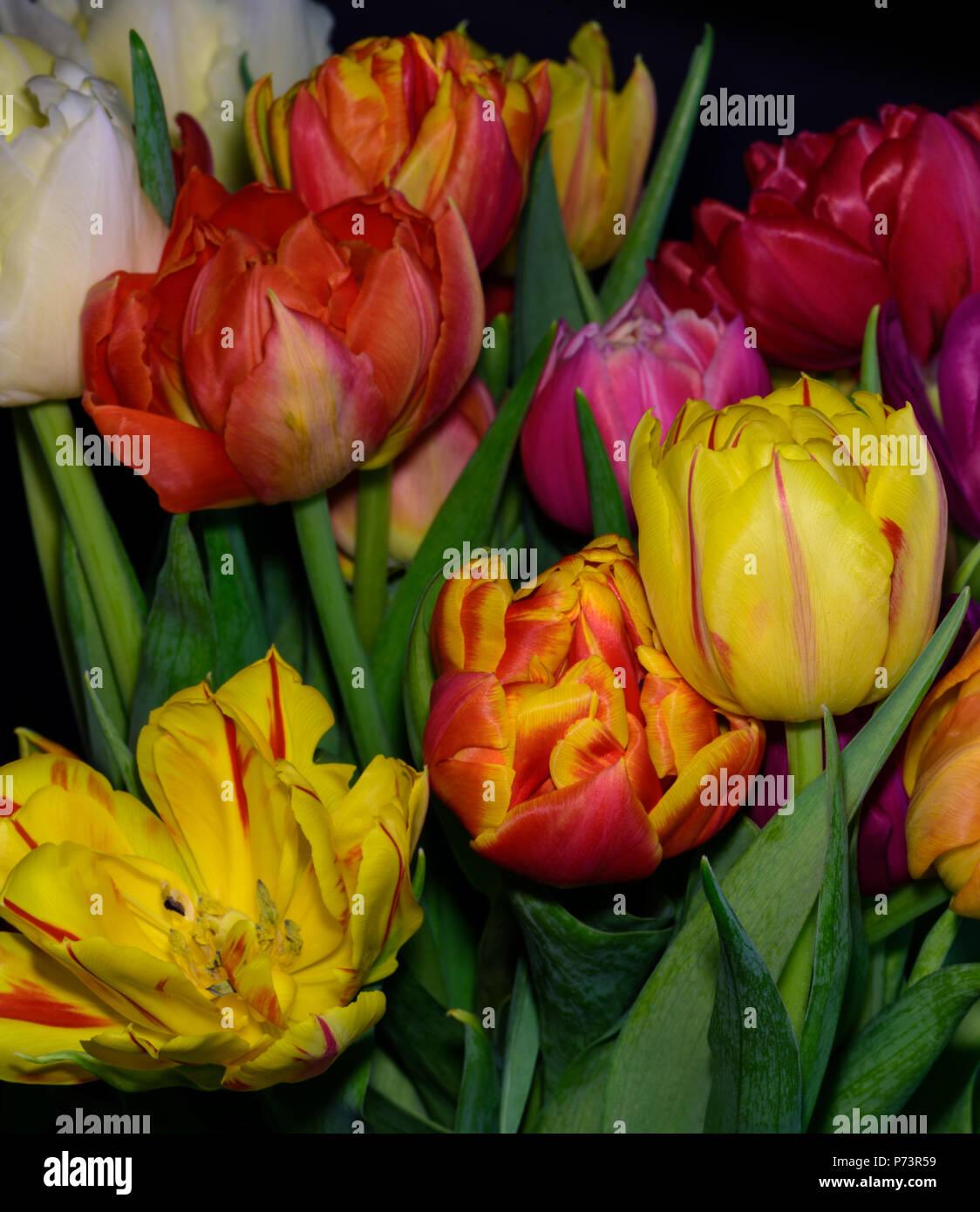 Kunst Blumen Stillleben Blume Makro Einer Blute Tulpe Blume Blumenstrauss Bundel Auf Schwarzen Hintergrund In Lebendigen Naturlichen Farben Rot Rosa Violett Gelb Stockfotografie Alamy