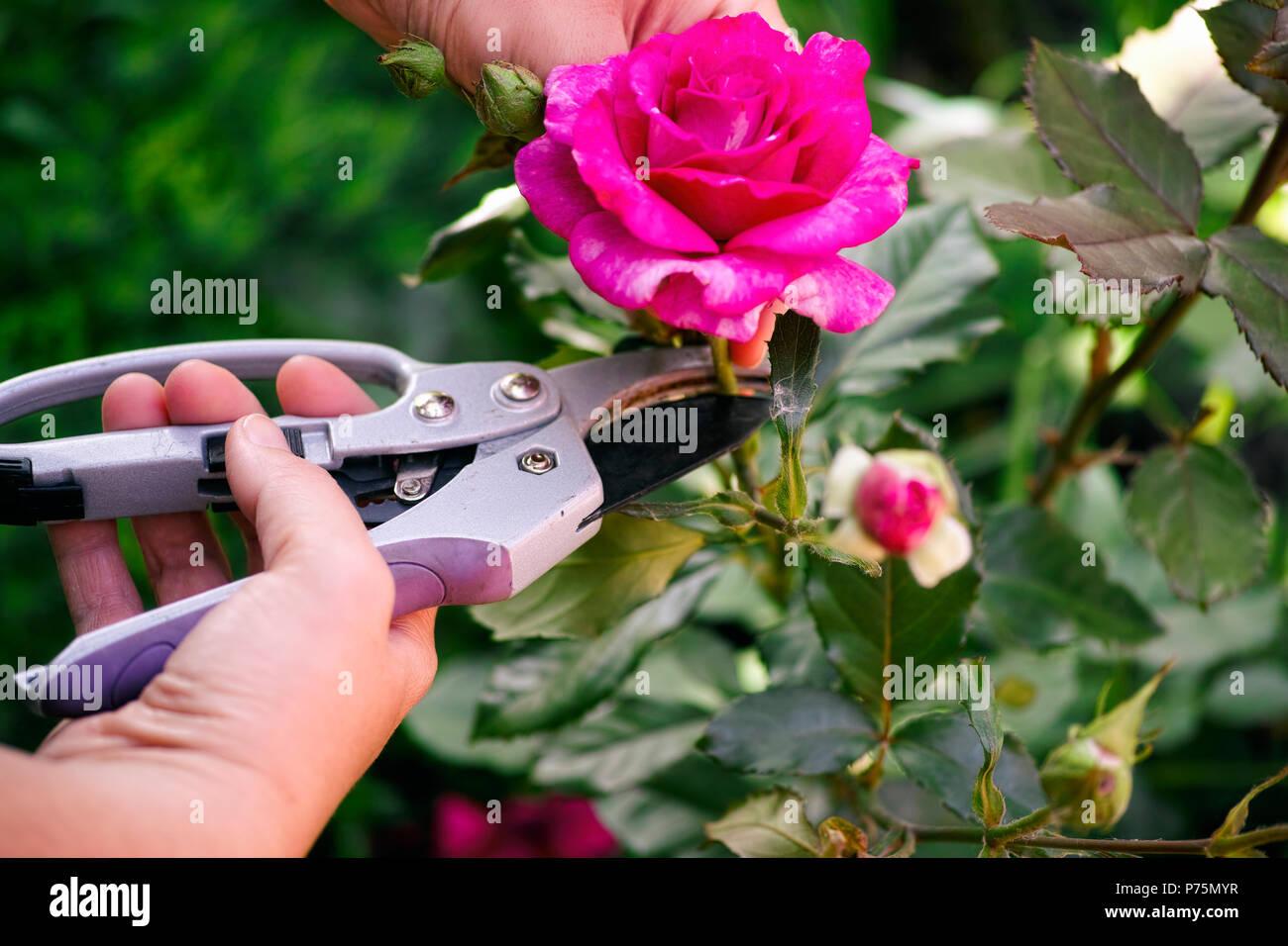 Frau Hände mit Garten Scheren Schneiden rosa Rose der Bush. Stockbild