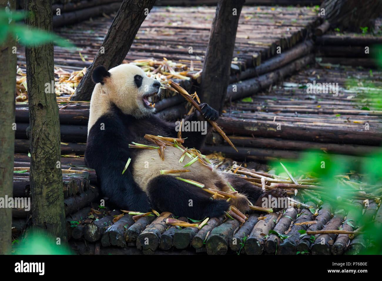 Giant Panda Essen Bambus Liegend Auf Holz In Chengdu Provinz