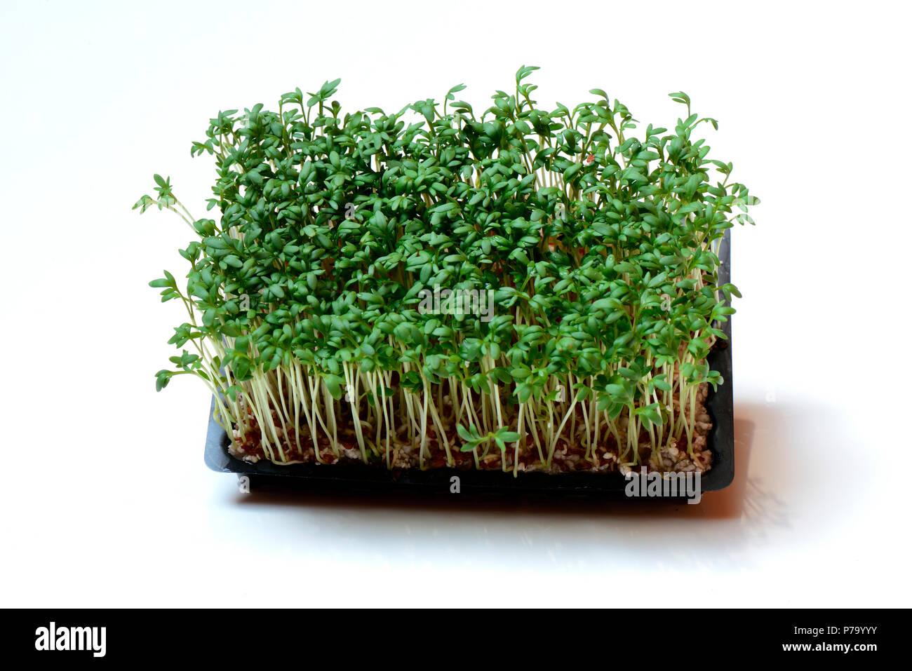 Etwas Neues genug Gartenkresse, Lepidium sativum, Kressesprossen Kresse-Sprossen @VO_64