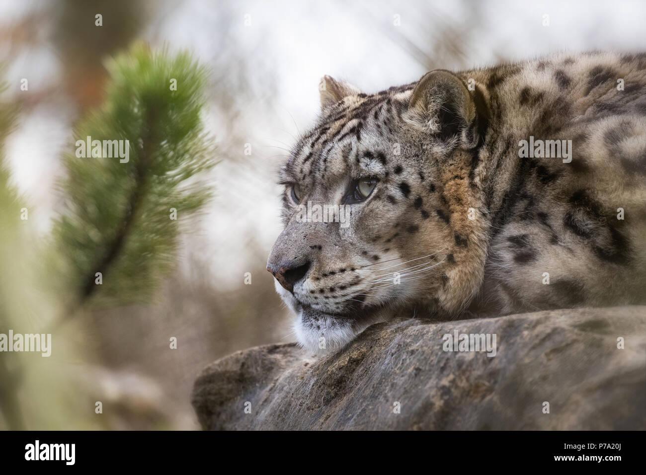 Ein erwachsener snow leopard ruht in der das Unterholz, sondern hält ein wachsames Auge auf ihre Umgebung. Stockbild