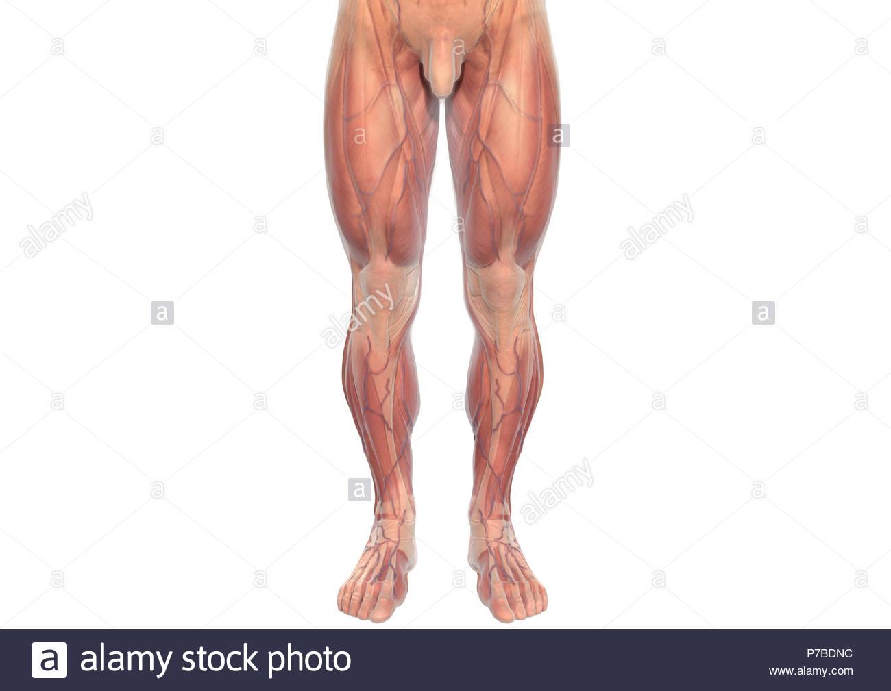 Ziemlich Beinmuskel Anatomie Diagramm Zeitgenössisch - Menschliche ...