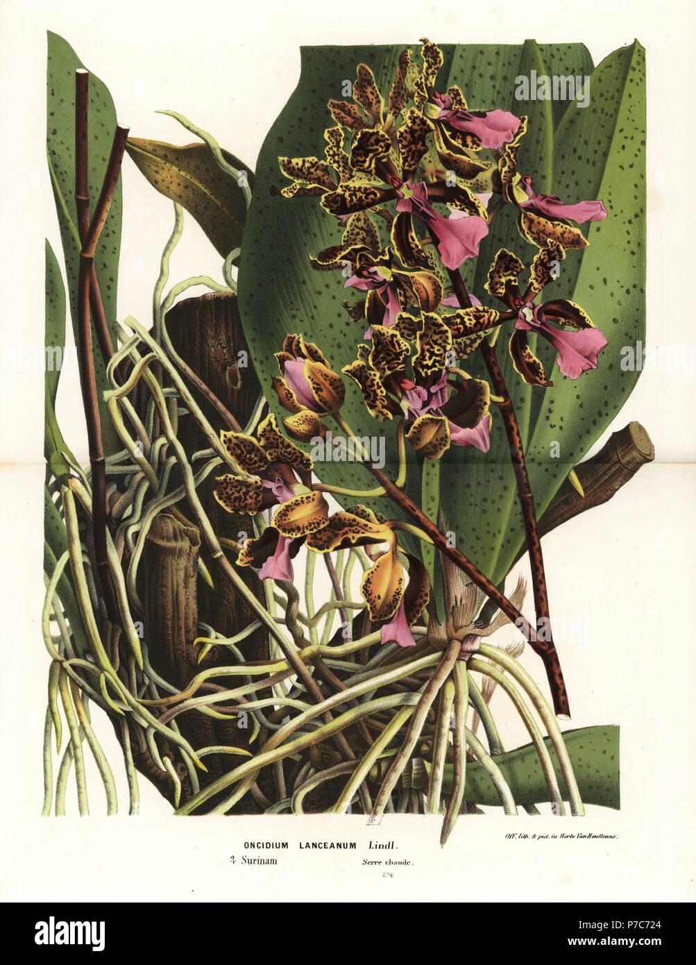 Trichocentrum Lanceanum Orchidee (Oncidium Lanceanum). Suriname ...