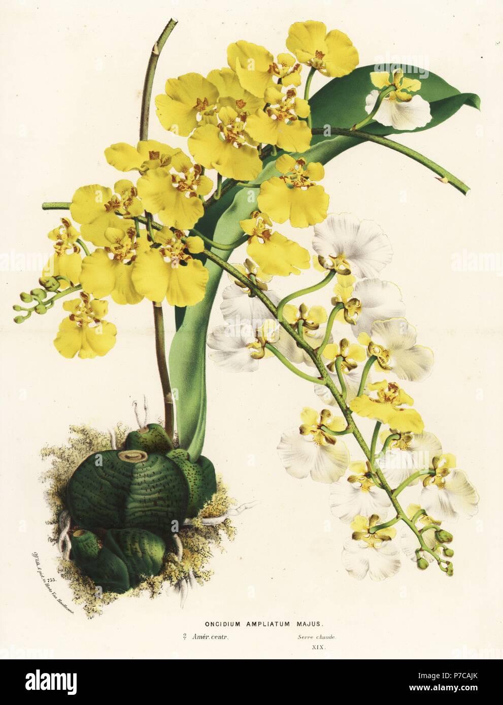 Rossioglossum Ampliatum Orchidee (Oncidium Ampliatum Majus ...