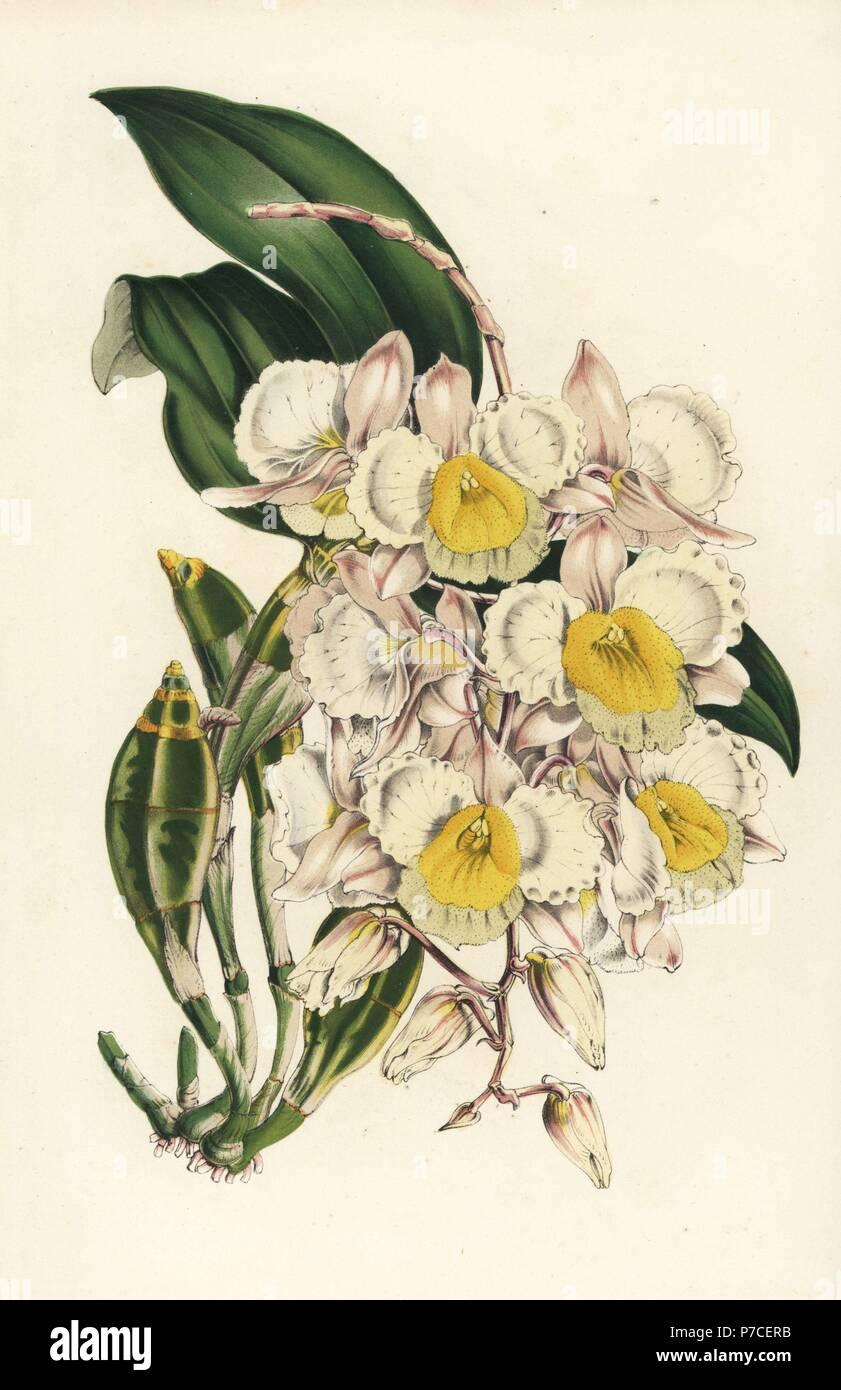 Bauernmarkt Dendrobium Orchidee, Dendrobium Farmeri ...