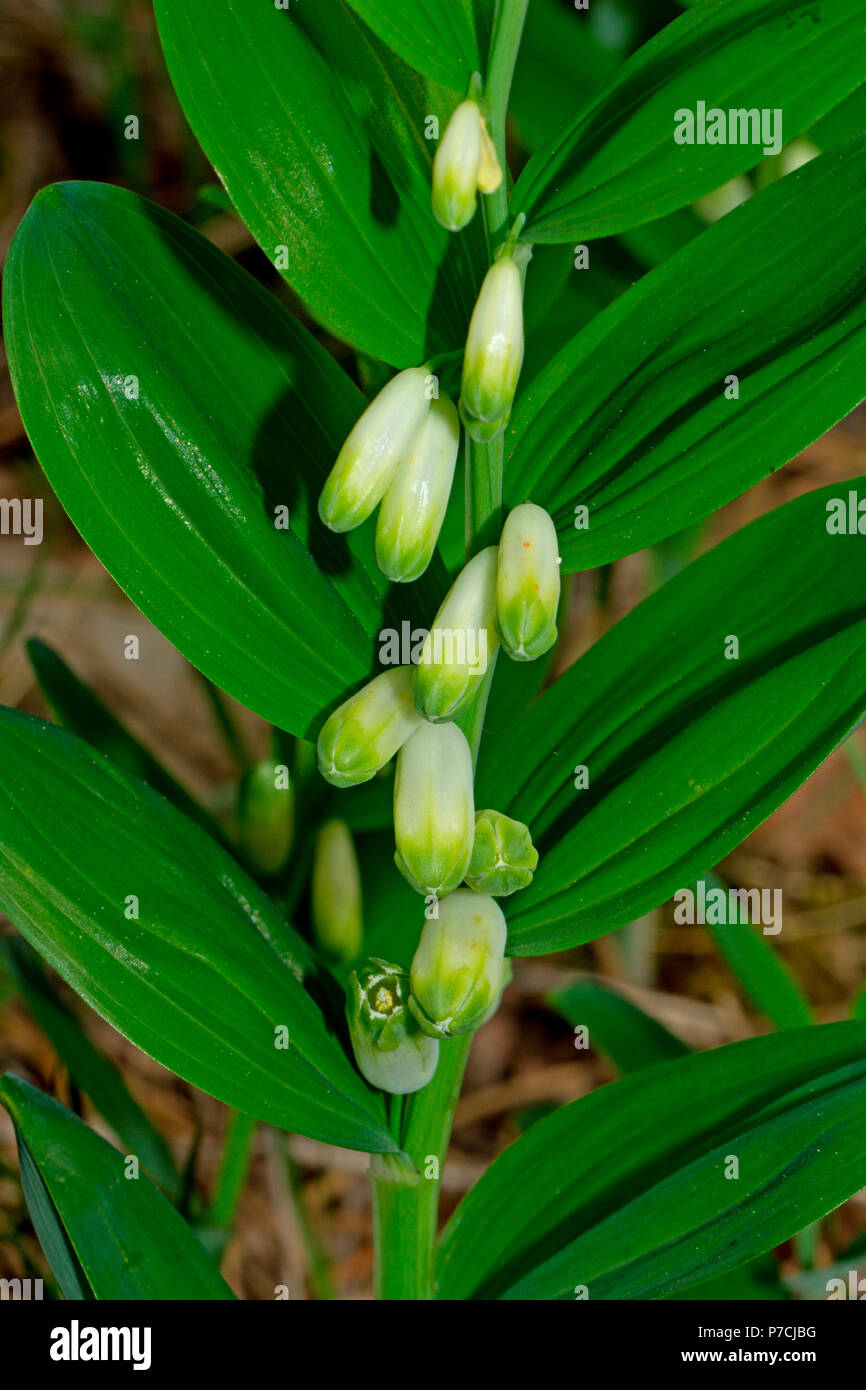 Die kantigen Salomo Dichtung (Bell Odoratum) Stockbild