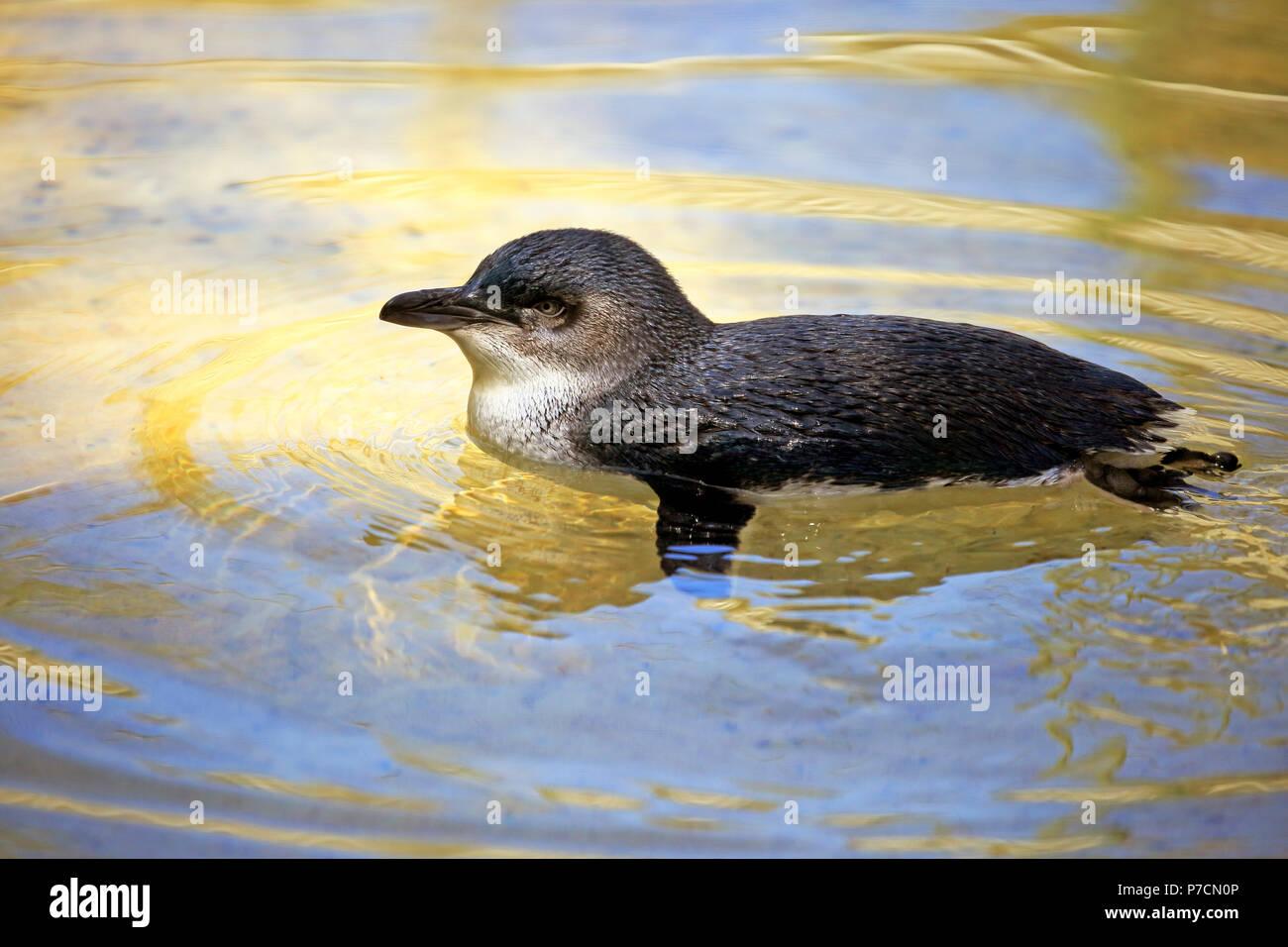 Kleine Pinguin, Erwachsene schwimmen im Wasser, Kangaroo Island, South Australia, Australien, (Eudyptula minor) Stockbild