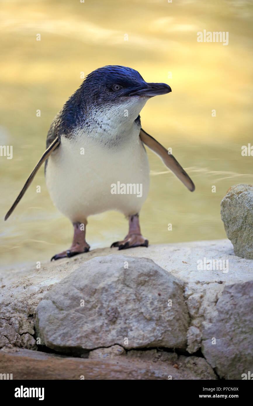 Kleine Pinguin, Kangaroo Island, South Australia, Australien, (Eudyptula minor) Stockbild