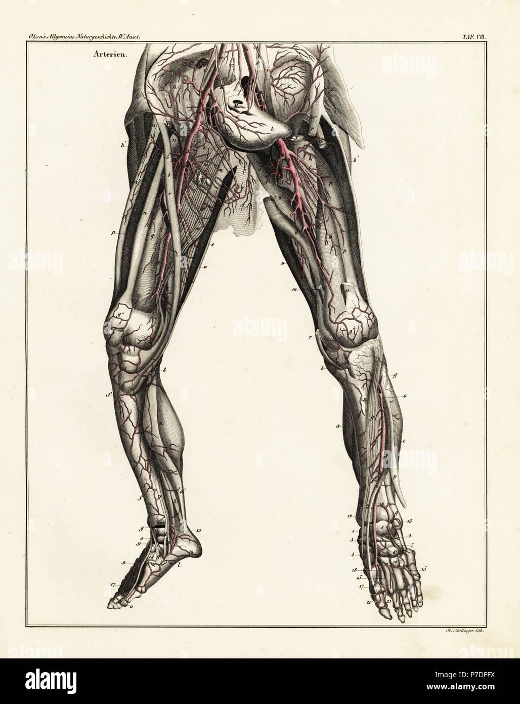 c8.alamy.com/compde/p7dffx/anatomie-des-menschlich...