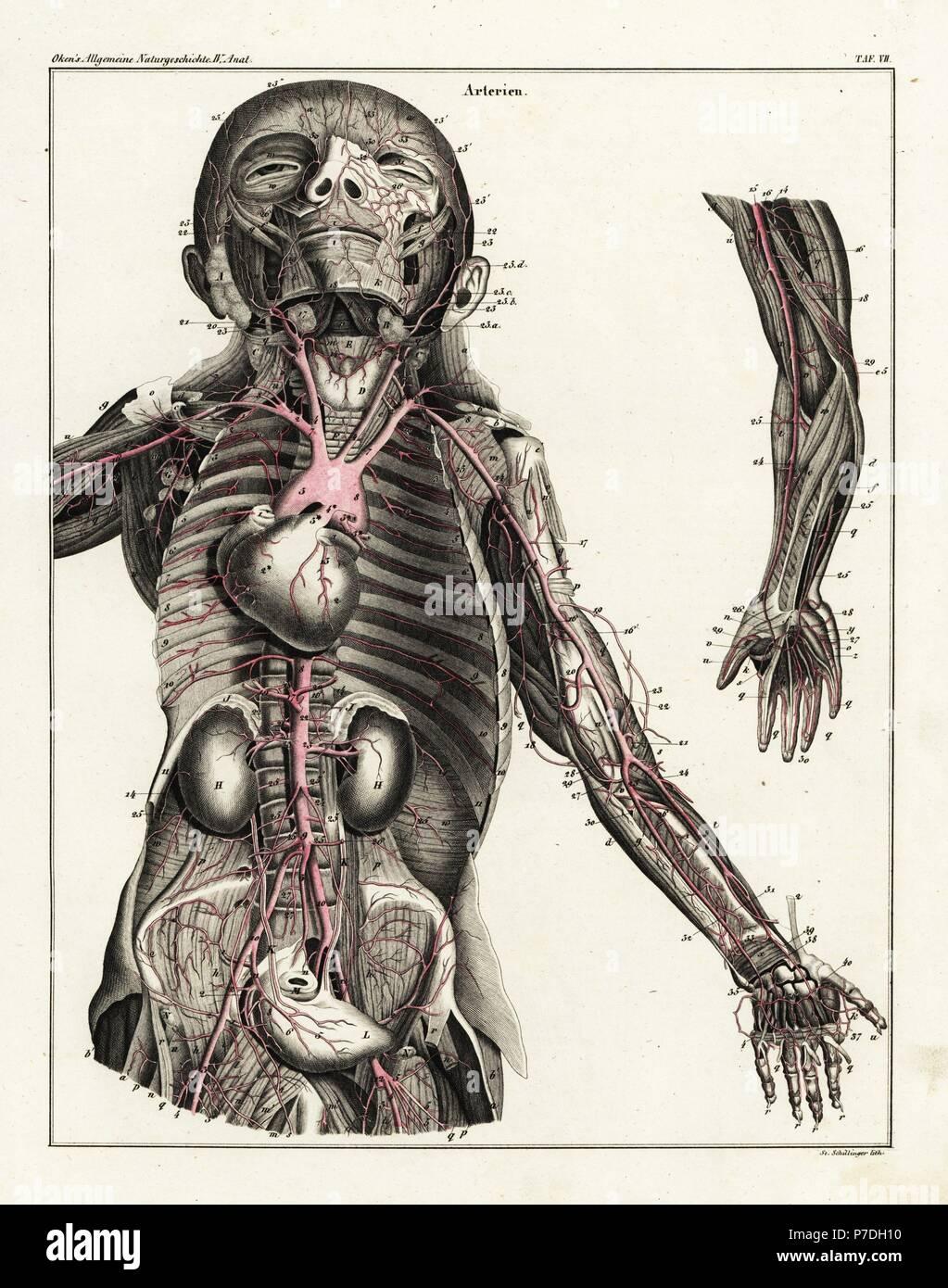 Anatomie des menschlichen arteriellen System in den Oberkörper ...