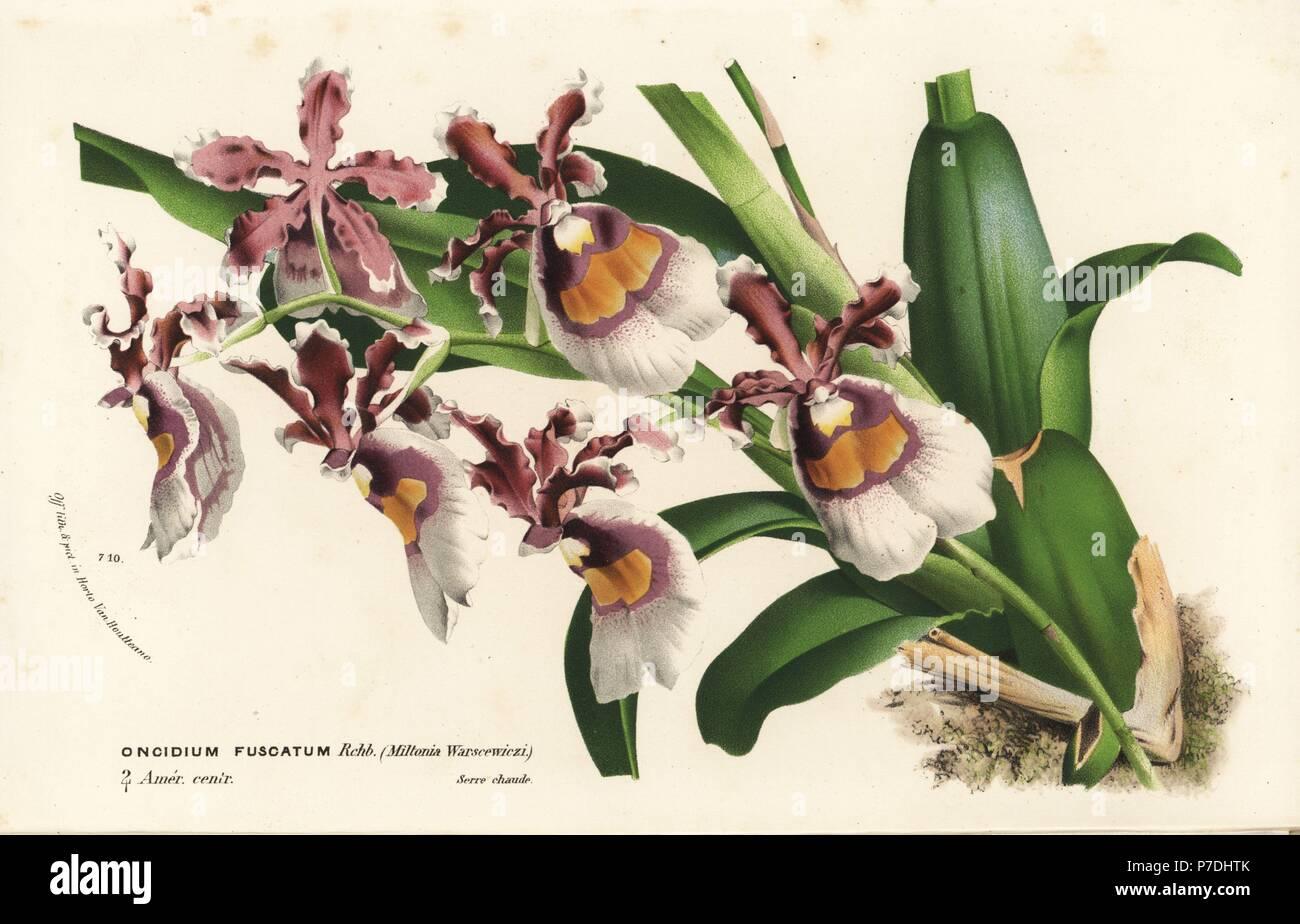 Oncidium Fuscatum Orchidee. Handkoloriert Lithographie von ...
