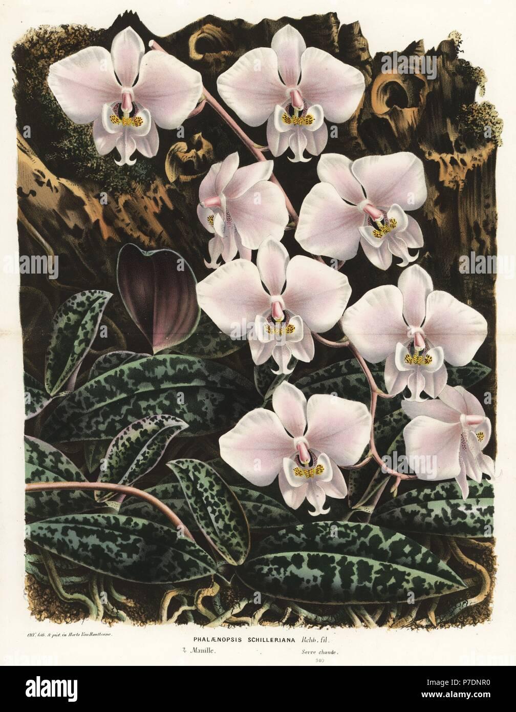 Motte Orchidee, Phalaenopsis Schilleriana. Handkoloriert ...