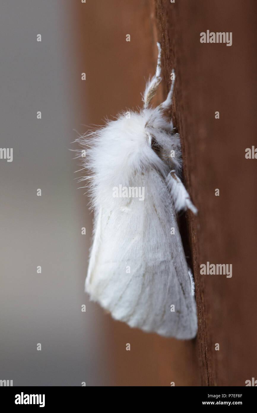 Gelb - Schwanz Motte (auch als goldtail Motten Motten, oder Schwan Euproctis Imilis) Stockbild