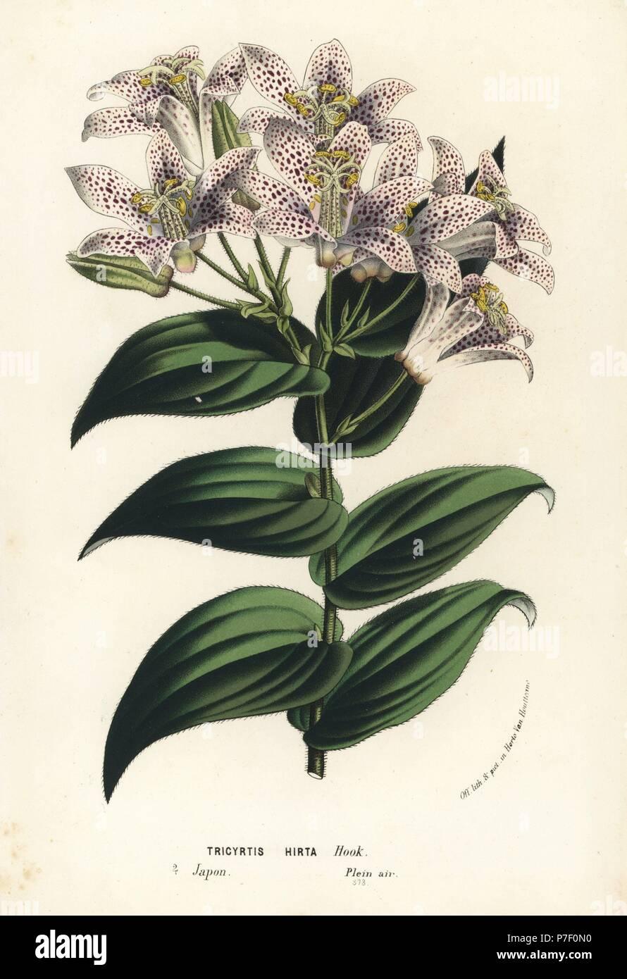 Kröte Lilie, Tricyrtis Hirta. Japan. Handkoloriert Lithographie von ...
