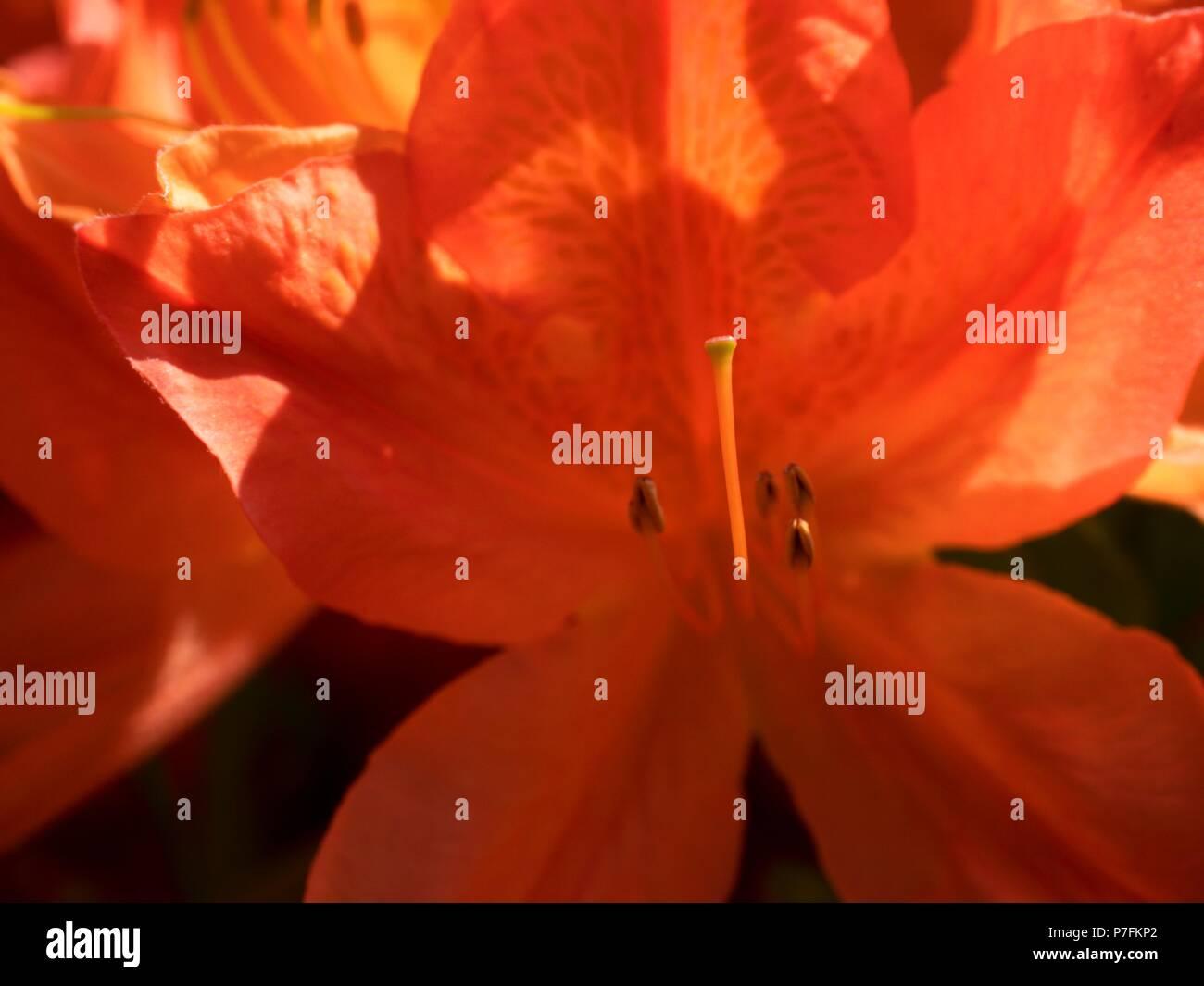 Detaillierte Rote Azalee Blumen Im Park Beliebte Zimmerpflanzen