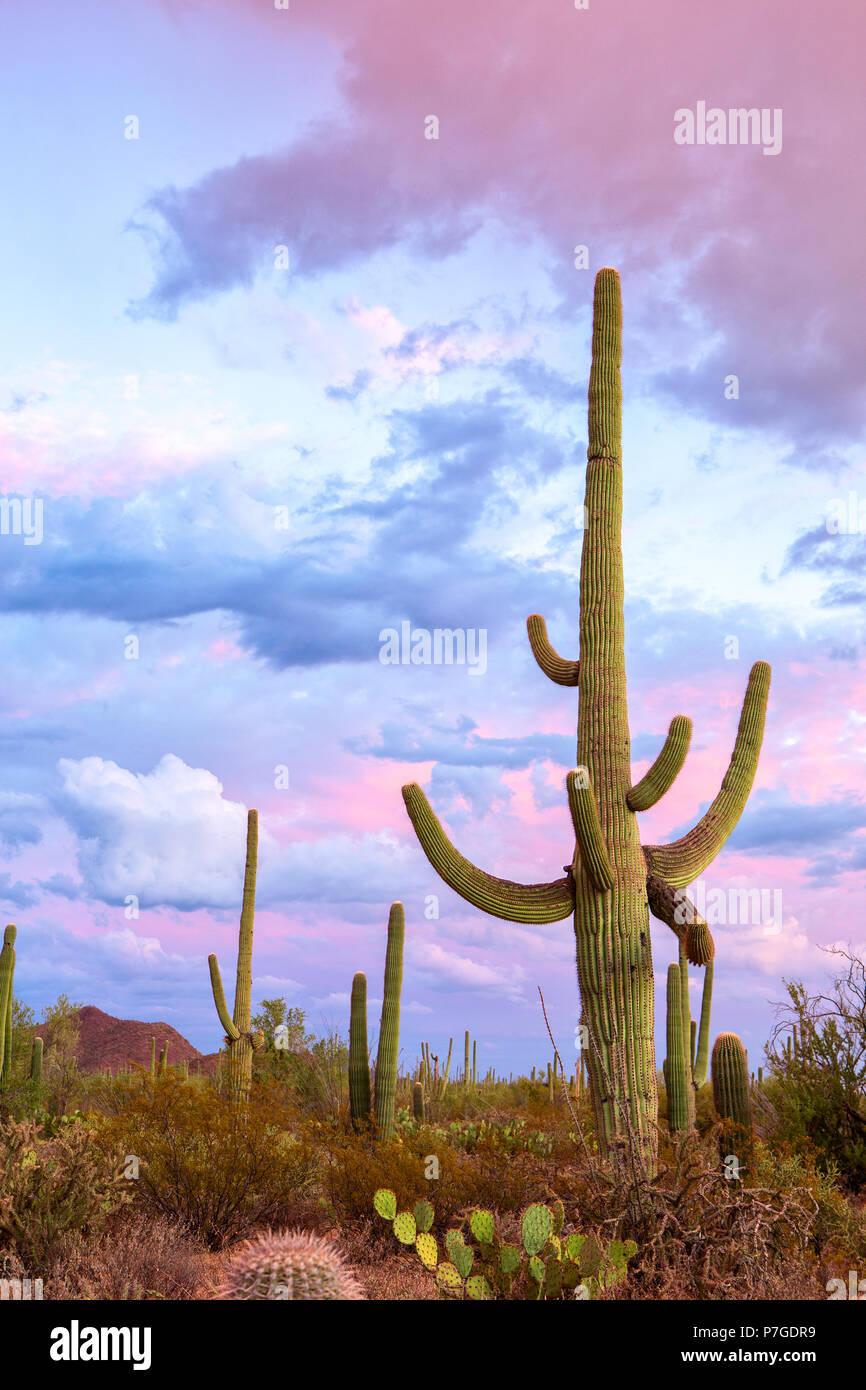 Sonnenuntergang in den Saguaro National Park, in der Nähe von Tucson, südöstlichen Arizona, Usa. Big Saguaro Kaktus (Carnegiea gigantea) steht gegen eine Stockfoto