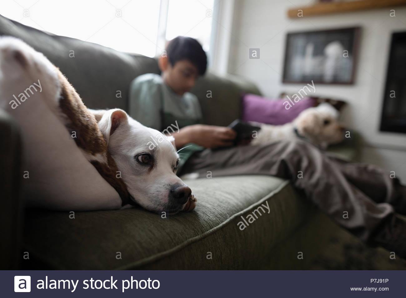 Süßer Hund entspannt auf einem Sofa Stockbild