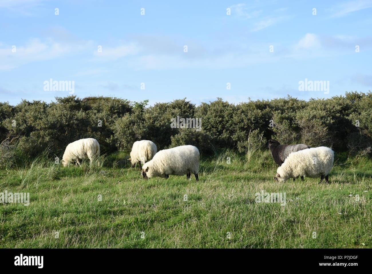Schafe auf einer Weide Stockbild