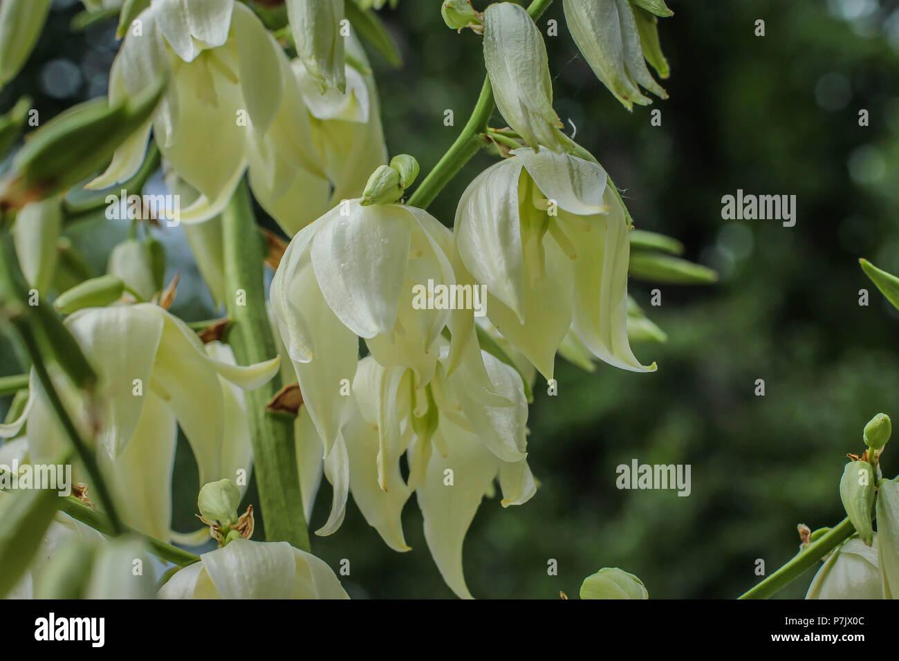 Weiße Blumen von Yucca gloriosa Stockbild