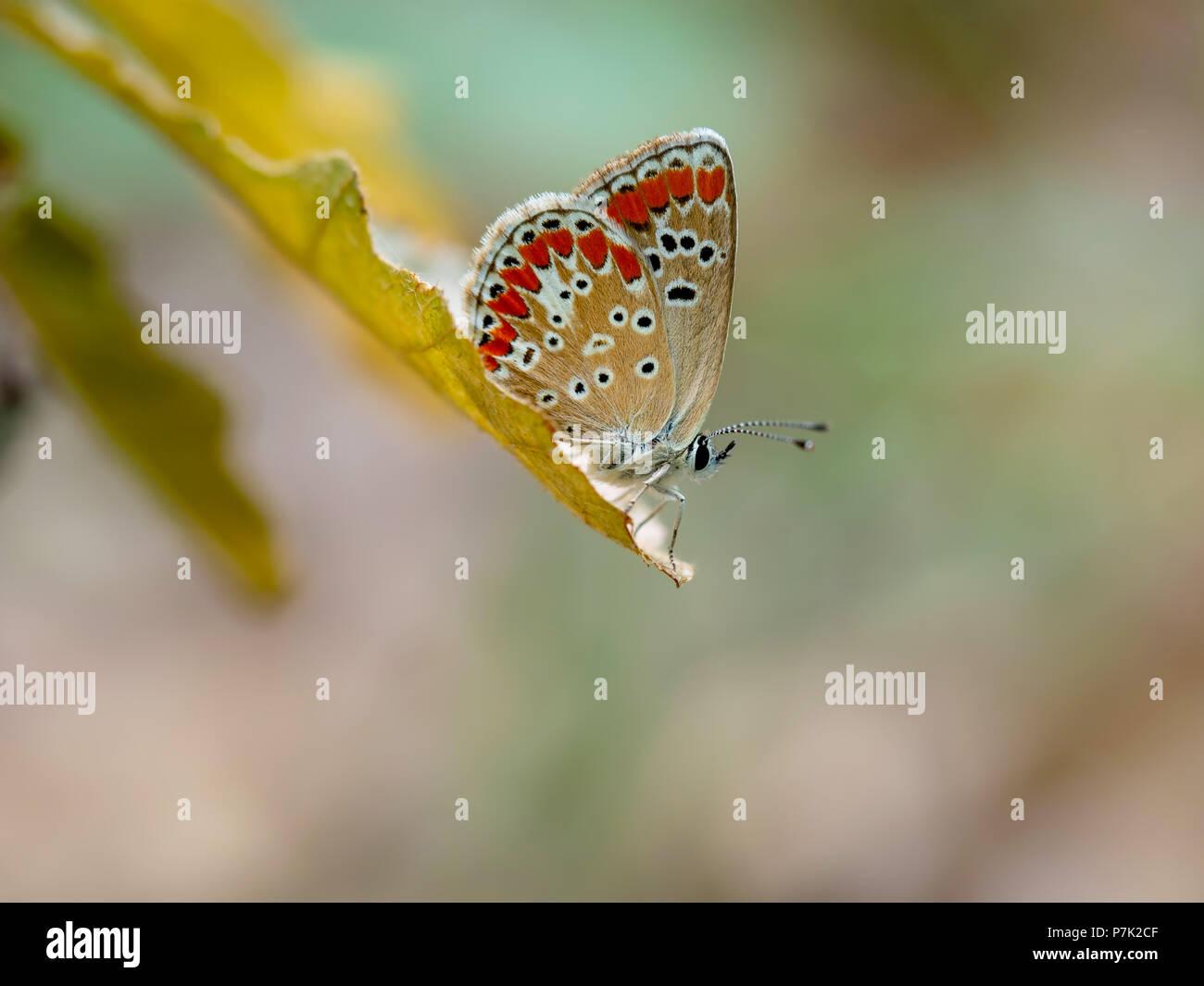 Braun Argus butteffly, Aricia agestis. Stockbild