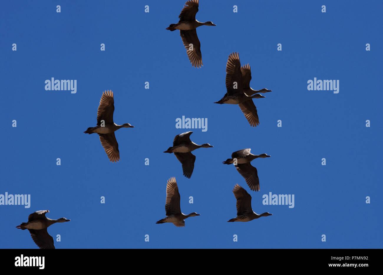 Das pfeifen Enten oder Baum Enten sind eine Unterfamilie, Dendrocygninae, der Enten, Gänse und Schwäne der Vögel, der Entenvögel. Stockbild
