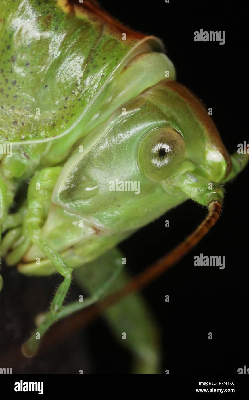 Portrait von großer Green Bush - Kricket (Tettigonia Viridissima) Stockbild