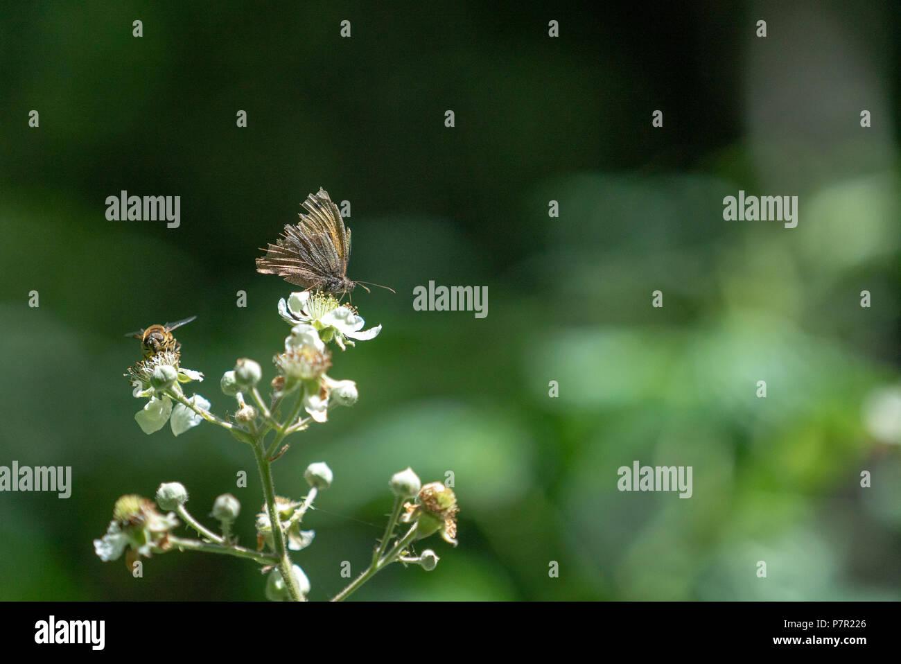 Honig Biene mit Motten Schlemmen auf Black flower Nektar, West Woods, Wiltshire GROSSBRITANNIEN Stockbild